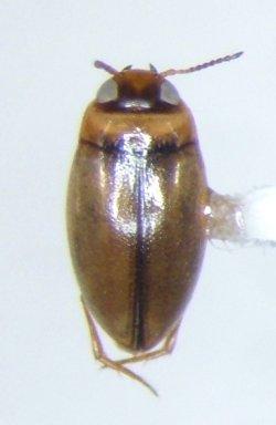 Uvarus lacustris