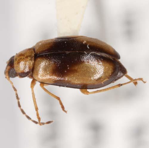Metrioidea varicornis (Leconte) - Metrioidea varicornis