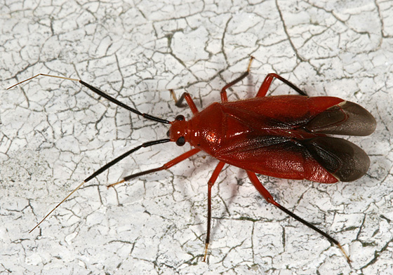 Red True Bug - Coccobaphes frontifer