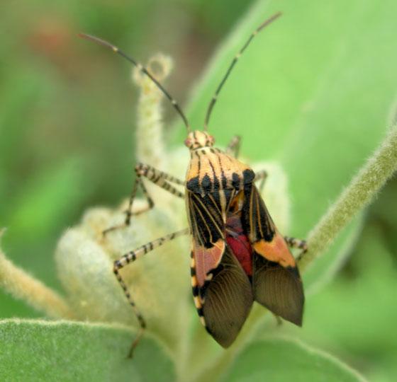 Possible Assassin Bug 2 - Hypselonotus punctiventris