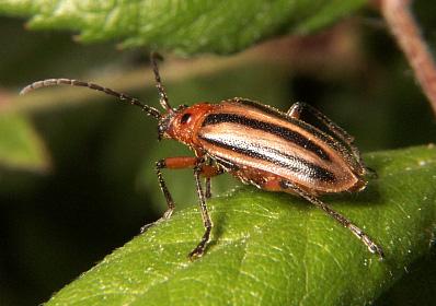 orange w black stripes beetle brachysomida bivittata bugguide net. Black Bedroom Furniture Sets. Home Design Ideas