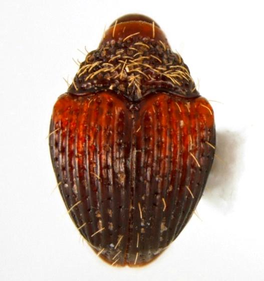 Buchananius sulcatus (LeConte) - Buchananius sulcatus