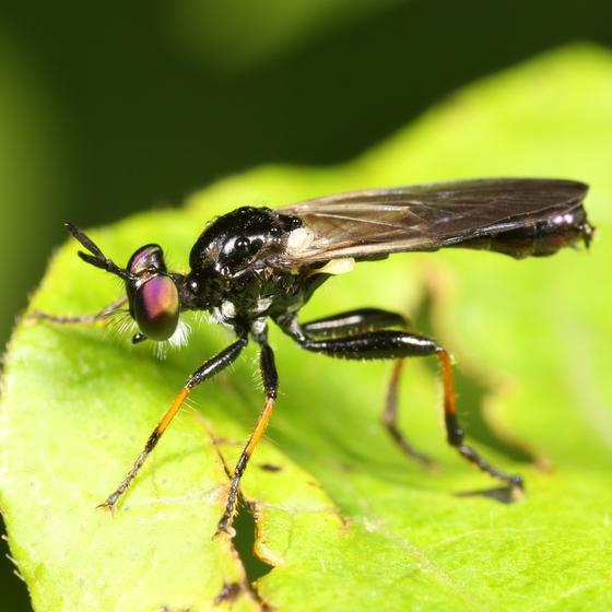Black robber fly with orange tibiae - Eudioctria tibialis