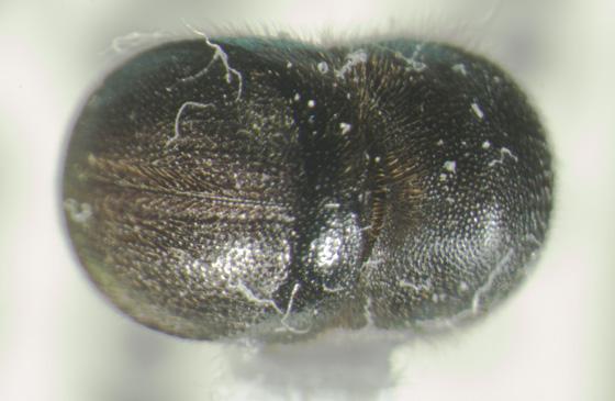 Dollywood scolytid B - Cnestus mutilatus