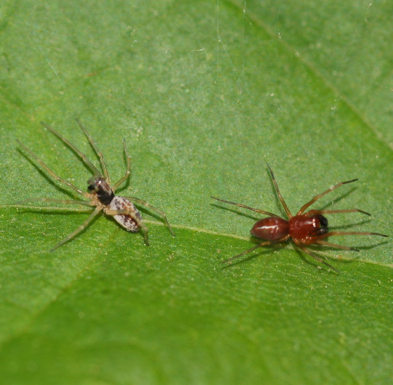 Spiders - Emblyna - male - female