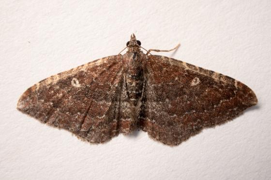 Orthonama obstipata - female