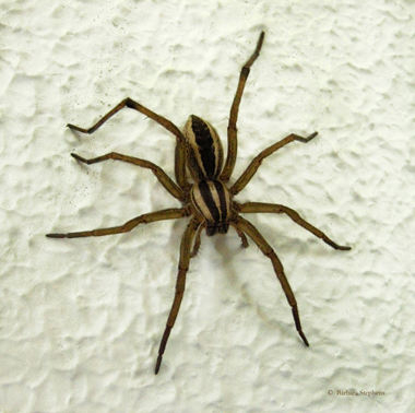 Adult female wolf spiders