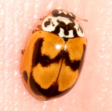 Lady Beetle - Mulsantina picta