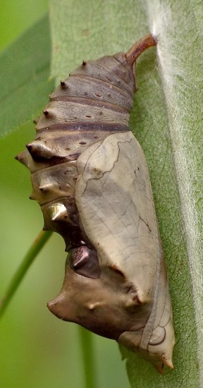 not very healthy chrysalis - Nymphalis l-album