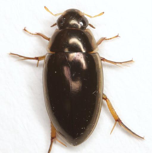 Tropisternus lateralis nimbatus (Say) - Tropisternus lateralis