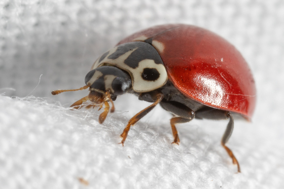 Bright Red Lady Beetle - Possibly Cycloneda polita? - Cycloneda polita