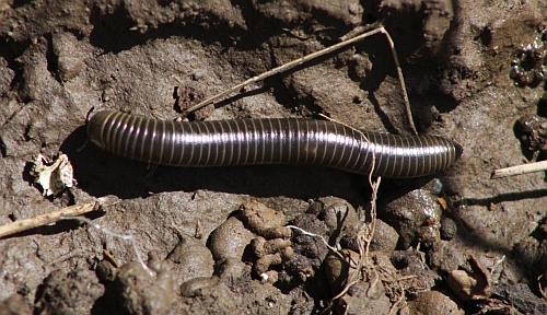 Millipede species?
