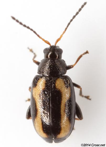 Phyllotreta striolata