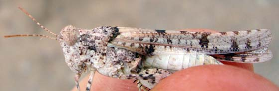 Sonoran Desert Grasshopper - Cibolacris parviceps - female