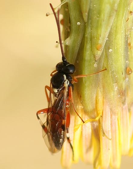 Wasp - Diplazon laetatorius - female