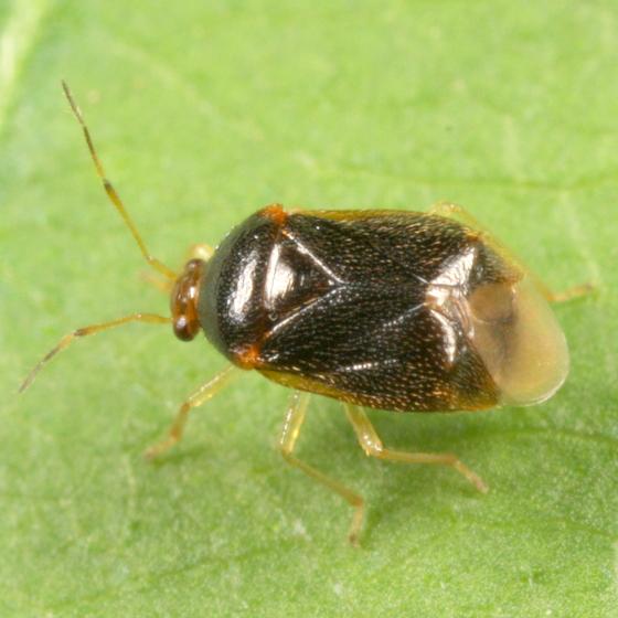 Brown bug - Monalocoris americanus