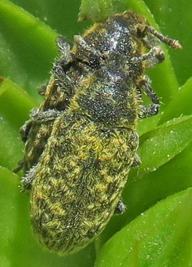 Rhinocyllus conicus? - Rhinocyllus conicus - male - female