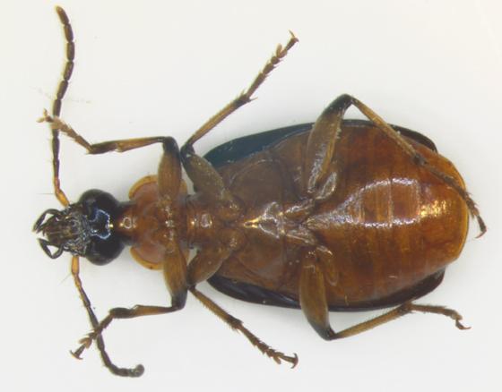 Harpalinae, ventral - Lebia viridipennis