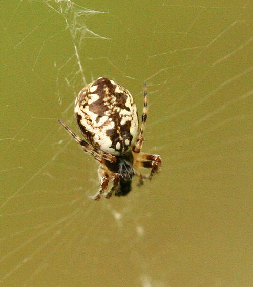 Small Spider - Cyclosa conica