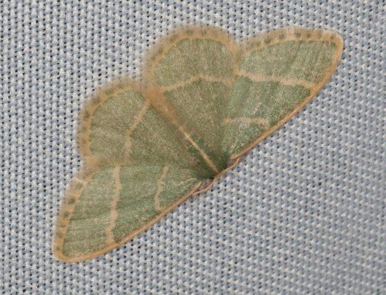 Emerald - Chlorochlamys appellaria
