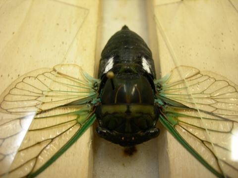 Tibicen tibicen australis (MALE 002) - Neotibicen tibicen - male