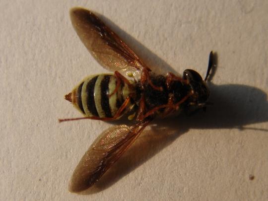 Firefly Mimic - Hoplitimyia constans