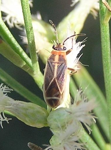 Seed Bug - Ochrimnus mimulus
