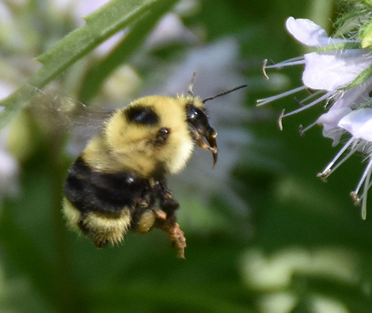 Unknown bumble bee A, Dane County Wisconsin. May 23, 2015, evening. Bee approaching Virginia waterleaf in a garden - Bombus rufocinctus