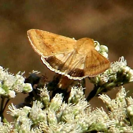 Skipper or moth? - Helicoverpa zea