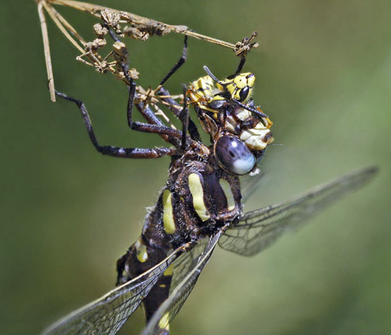 Pacific Spiketail, Cordulegaster dorsalis, preys on wasp - Cordulegaster dorsalis - male