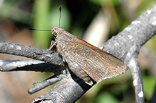 Monk Skipper - Asbolis capucinus - female