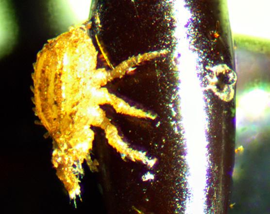 Acari - Phoretic mite on the leg of Pterostichus tristis - Polyaspis