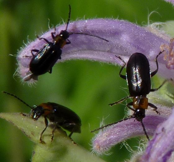 Black beetles - Diabrotica cristata