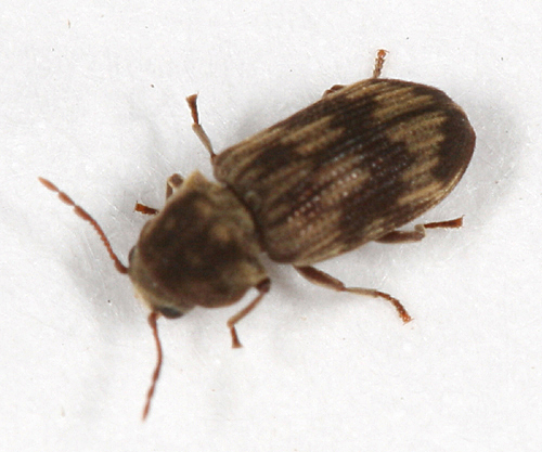 small brown paterened beetle - Hadrobregmus notatus