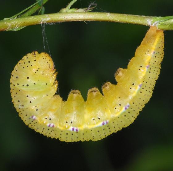 sulphur caterpillar - Phoebis sennae