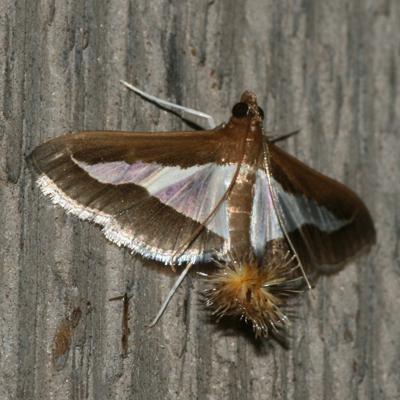 Diaphania Moth - Hodges #5205 - Diaphania modialis - female