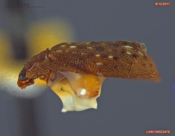 Pletastica tuberculata - Peltastica tuberculata