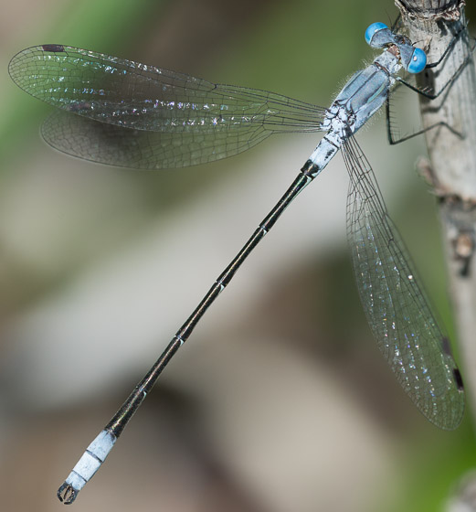 Sweetflag spreadwing - Lestes forcipatus - male