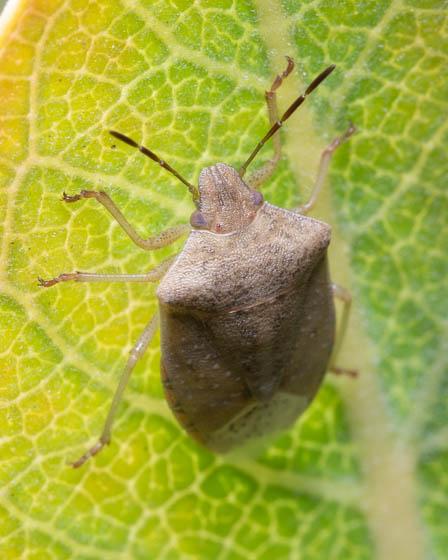 ID this stink bug? - Thyanta