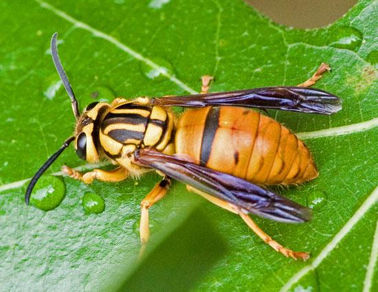 Large Wasp - Vespula squamosa