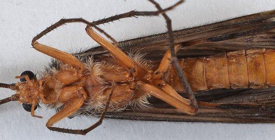Giant Orange Sedge (Dicosmoecus?) - Dicosmoecus atripes - male