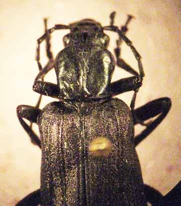 Beetle - Ditylus