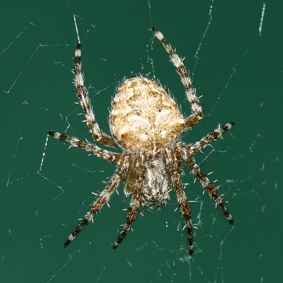 Orb Weaver Araneus Cavaticus Bugguide Net