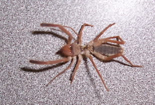 Wind Scorpion - found indoors in Southern Utah