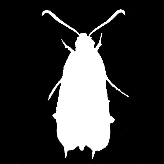 Squash Vine Borer silhouette - Melittia cucurbitae