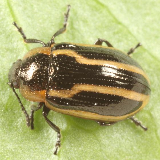 Marsh marigold beetle - Prasocuris boreella