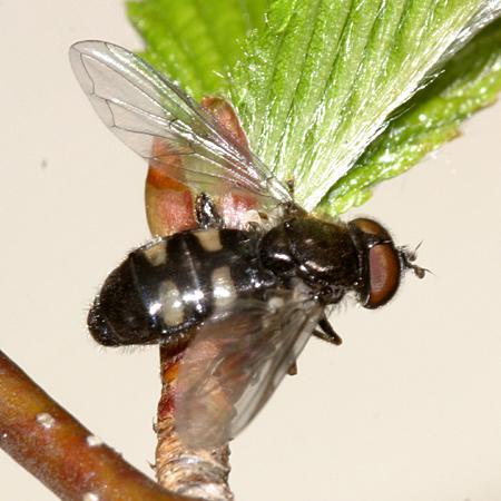 2 banded fly - Pipiza