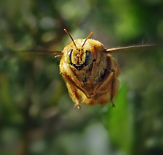 Carpenter Bee In Flight Xylocopa Varipuncta Bugguide Net