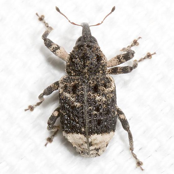 Weevil - Cryptorhynchus lapathi