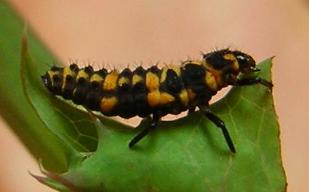 Lady beetle larva - Day 9 - Coleomegilla maculata